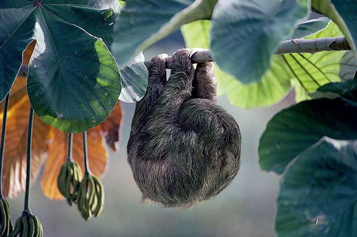 Фото №8 - Ленивец: древесный тихоход