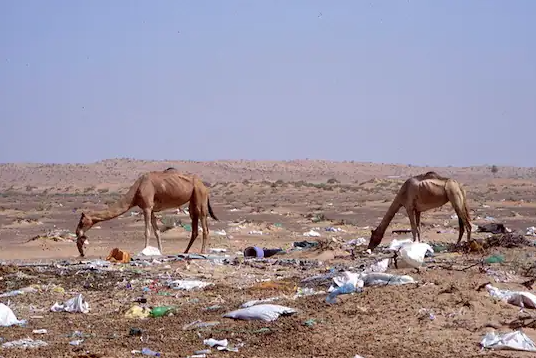 Фото №1 - В желудке погибшего верблюда нашли 2000 пластиковых пакетов