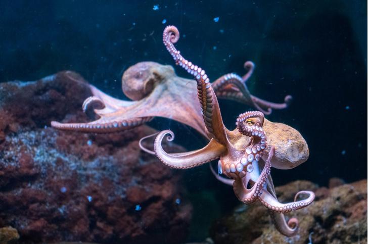Фото №1 - Осьминоги и кальмары захватывают воды Мирового океана