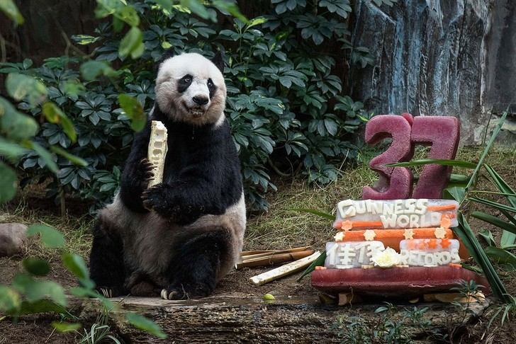 Фото №1 - Самая крупная и старая из живущих в неволе панда отпраздновала день рождения