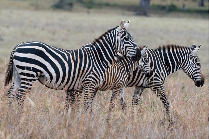 Фото №1 - Найдено объяснение окраски зебр
