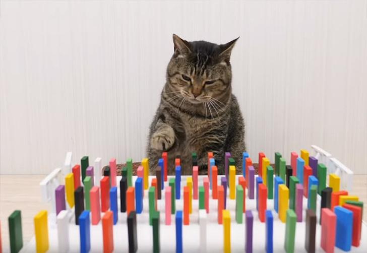 Фото №1 - Видео дня: котики переворачивают, переворачивают и переворачивают домино