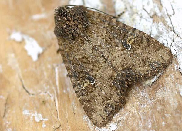 Фото №1 - Бабочка с эхолокатором