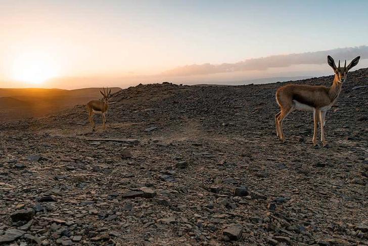 Фото №1 - Редкий вид газелей впервые попал в кадр фотоловушки