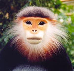 Фото №1 - Во Вьетнаме найдена популяция редкой обезьяны