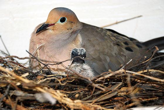 Фото №1 - Почему никогда не видно птенцов голубей?