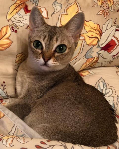 Фото №2 - Кто сказал «мяу»: Варум, Чиповская, Свиридова о любимых кошках