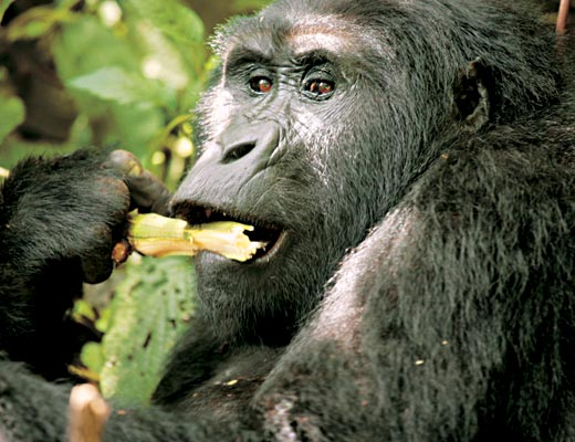 Фото №1 - Кинг Конги из дебрей Уганды