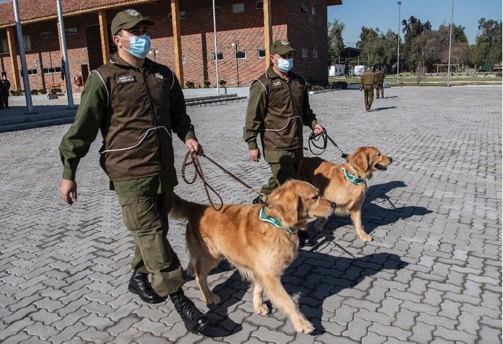 Фото №1 - Чилийская полиция учит собак находить COVID-19