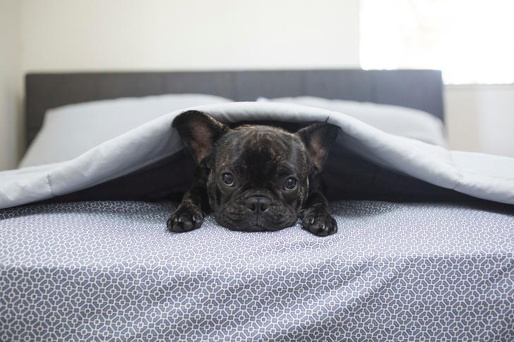Французский бульдог, породы собак для квартиры, собаки для квартиры, тихие породы собак, породы собак для детей