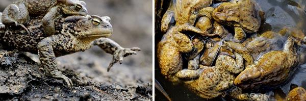Фото №4 - Тяжела ты, жабья доля