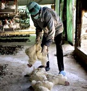 Фото №1 - Сын заразил отца птичьим гриппом