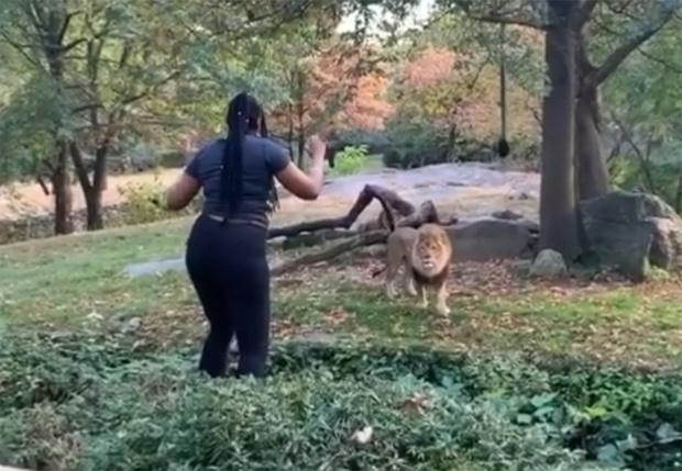 Фото №1 - В Бронксе посетительница зоопарка забралась ко льву, чтобы его подразнить (видео)