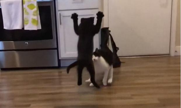 Фото №1 - Видео «боевого прыжка» котенка за день собрало тысячу комментариев