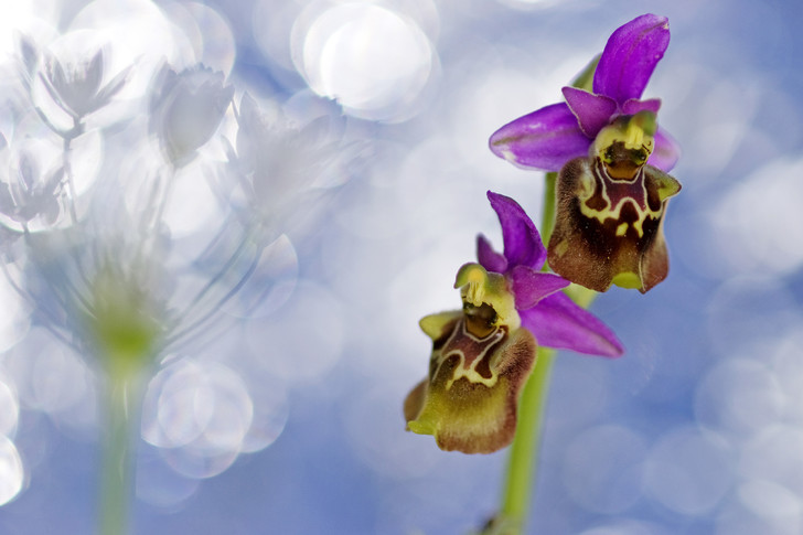 Фото №1 - Ботаника: прекрасные мошенницы