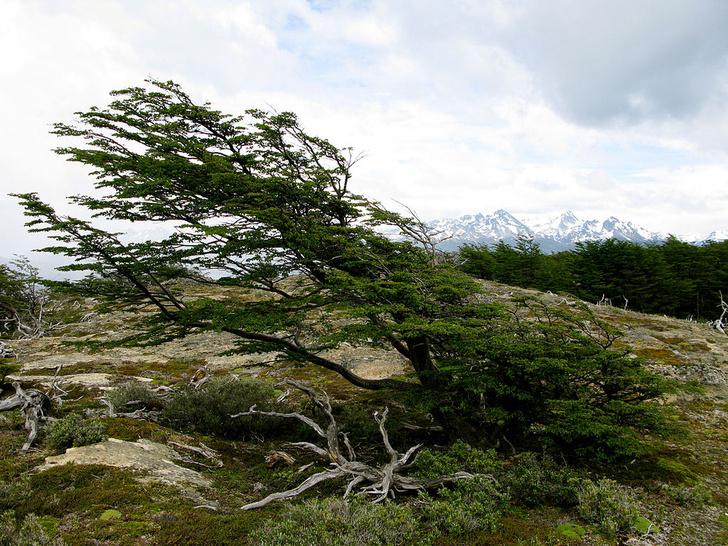 Фото №2 - Вернуться к корням: 7 самых экзотичных деревьев в мире
