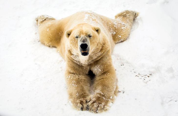 Фото №1 - На Земле Франца-Иосифа пометили белых медведей