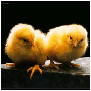 Фото №1 - Из английского магазинного яйца вылупился цыпленок