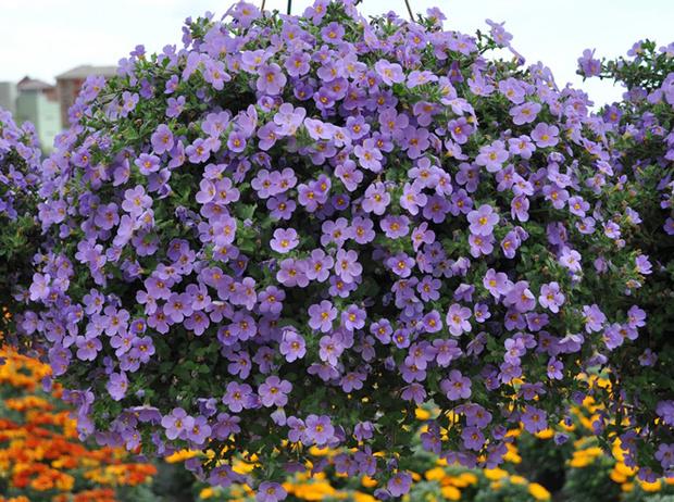 Фото №12 - 5 лучших растений для вертикального озеленения садового участка