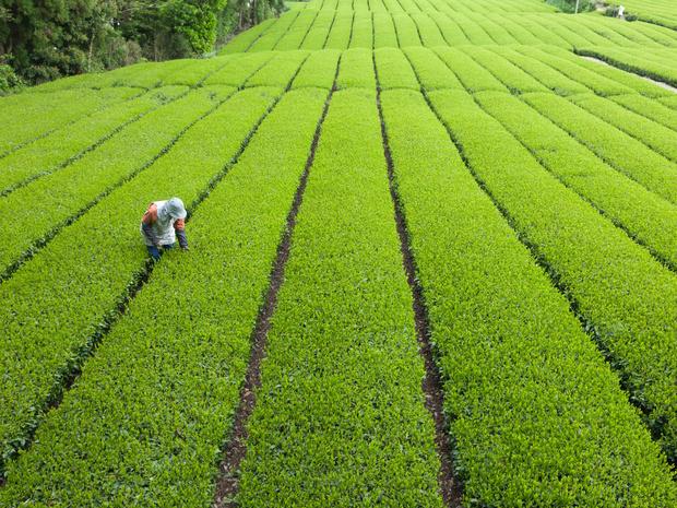 Фото №3 - Японский чай долголетия: как выбрать правильный сорт для здоровья и красоты