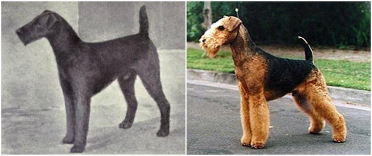 Фото №4 - Как изменились породы собак за 100 лет
