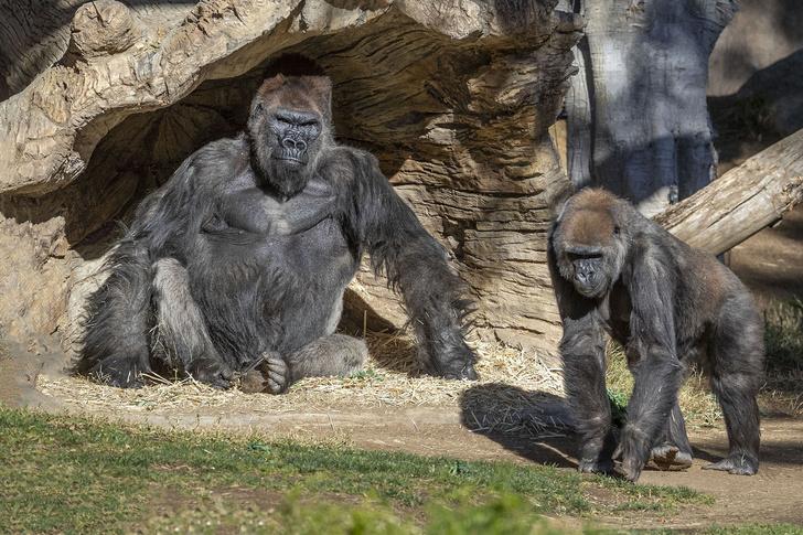 Фото №1 - Гориллы заразились коронавирусом в американском зоопарке