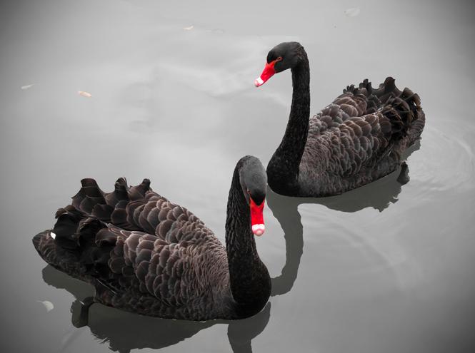 Фото №3 - Теория черных лебедей: как жить в мире, где невозможно ничего предсказать