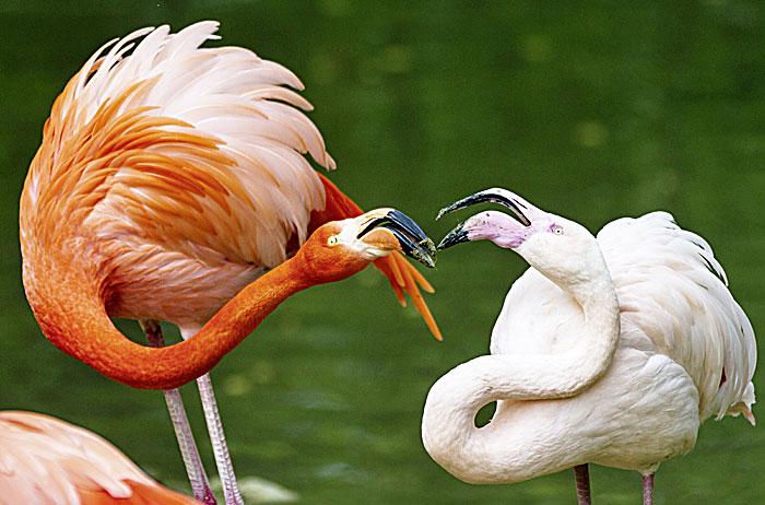 Фото №2 - Цветовая агрессия фламинго, социальное дистанцирование пчел и другие новые открытия