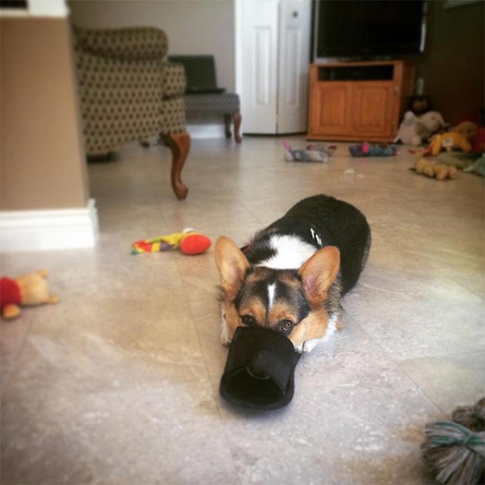 Фото №13 - 13 фото собак, притворяющихся утконосами