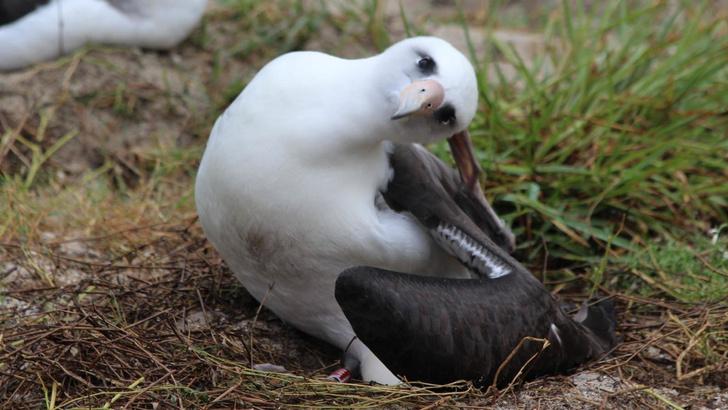 Фото №1 - Самая старая дикая птица в мире отложила яйцо