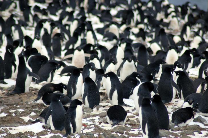 Фото №1 - Ученые обнаружили колонию пингвинов с 3000-летней историей