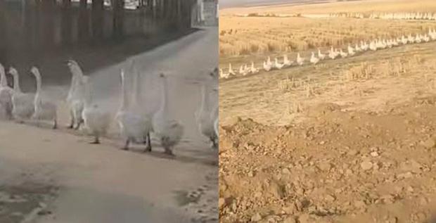 Фото №1 - Несколько тысяч гусей переходят дорогу и не дают водителю проехать (видео)