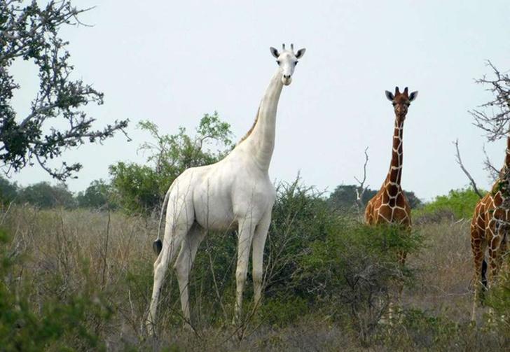 Фото №1 - В Кении браконьеры убили убили последнюю белую жирафиху с детенышем