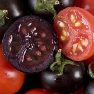 Фото №1 - Лиловые помидоры вступают в бой