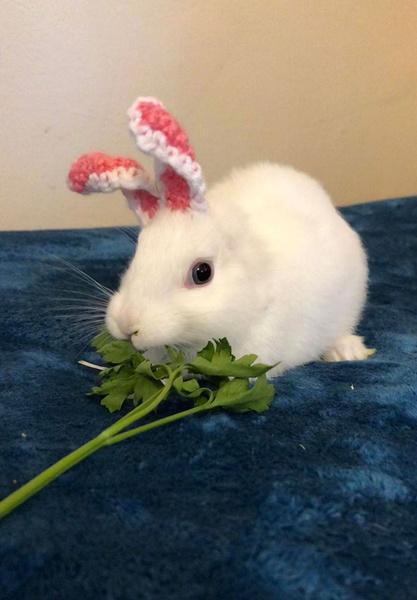 Фото №2 - Хозяйка кролика, который родился без ушей, вяжет ему ушки