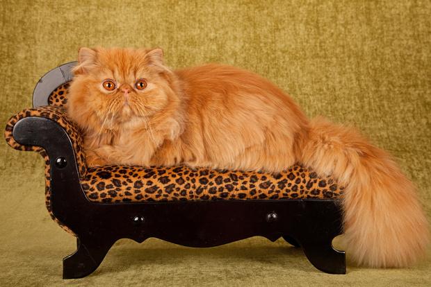 Фото №2 - Четыре породы кошек, наиболее склонные к ожирению