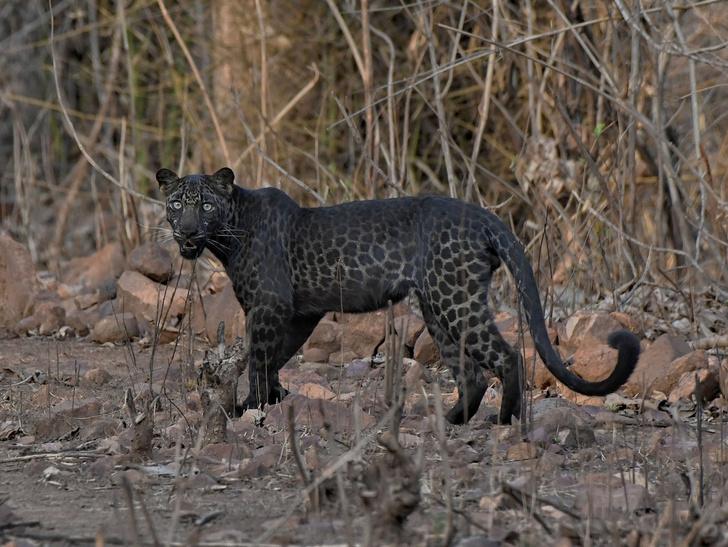 Фото №1 - Редкий черный леопард