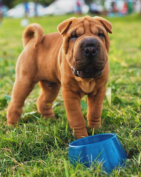 Шарпей, породы собак для квартиры, собаки для квартиры, тихие породы собак, породы собак для детей