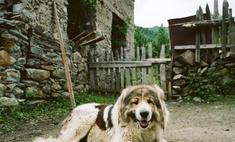 Кавказская овчарка: стандарты и особенности характера