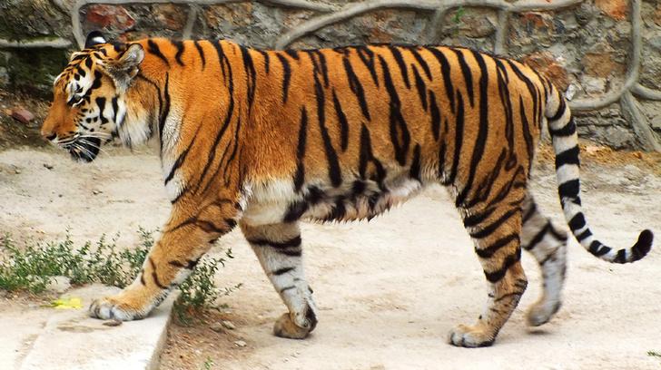 Фото №1 - Зоопаспорт: амурский тигр