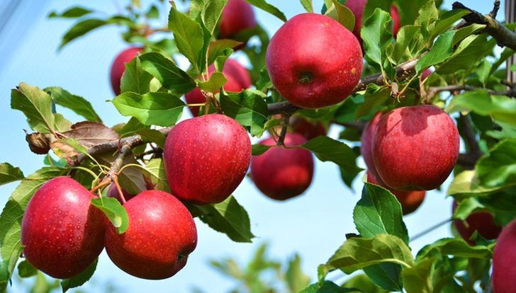 Фото №1 - Как заготавливали яблоки сто лет назад: шесть простых рецептов