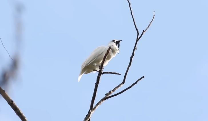 Фото №1 - Вот как звучит самая громкая птица в мире (видео)