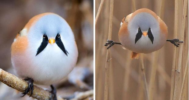 Фото №2 - Усатая синица: птица, которая по мнению Интернета, выглядит как участница норвежской метал-группы