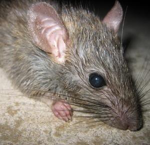 Фото №1 - Крысиное нашествие в Париже