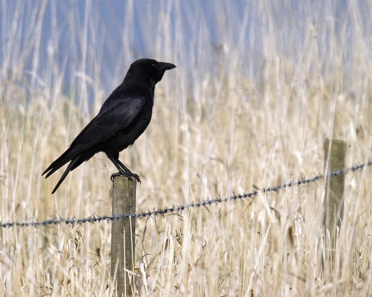 Фото №1 - Вороны способны извлекать уроки из смерти сородичей