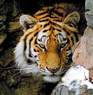 Фото №1 - Идет охота на тигров