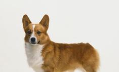 Милая и послушная собака пемброк вельш корги: описание породы.