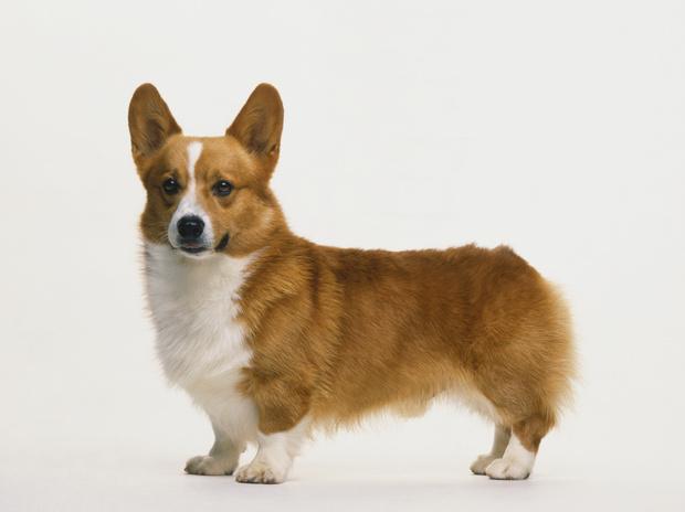 корги порода собак характер