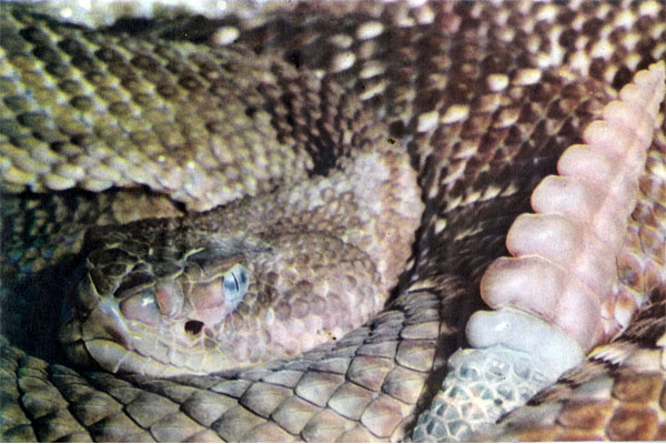 Фото №1 - Джентльмен змеиного мира