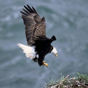 Фото №1 - Белоголовый орлан в США больше не исчезает